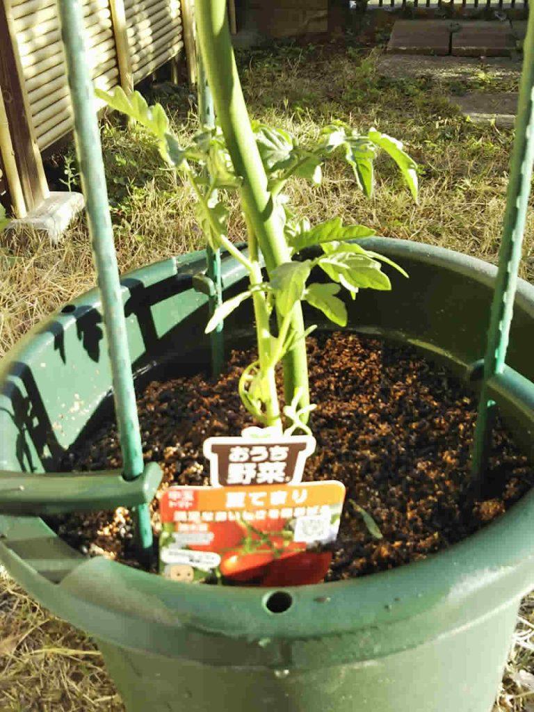 中玉のミニトマト、夏てまり