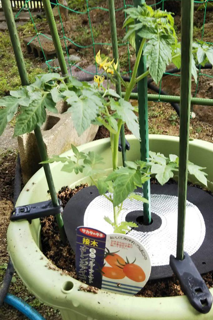 「しきわらいらず」でミニトマトのプランターの土を保護