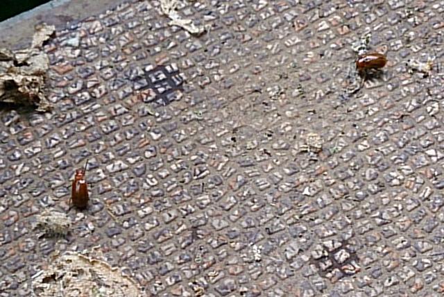 ニームオイルで弱り、地面に落ちたウリハムシ