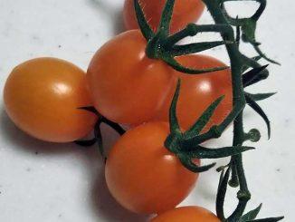 防虫ネットで保護したプランターで作ったミニトマト